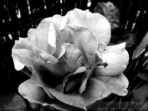 Fotografia Rosa